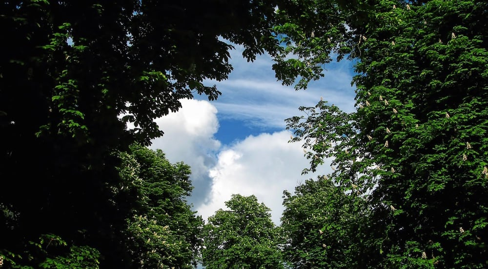 A grove of trees covering a blue sky.