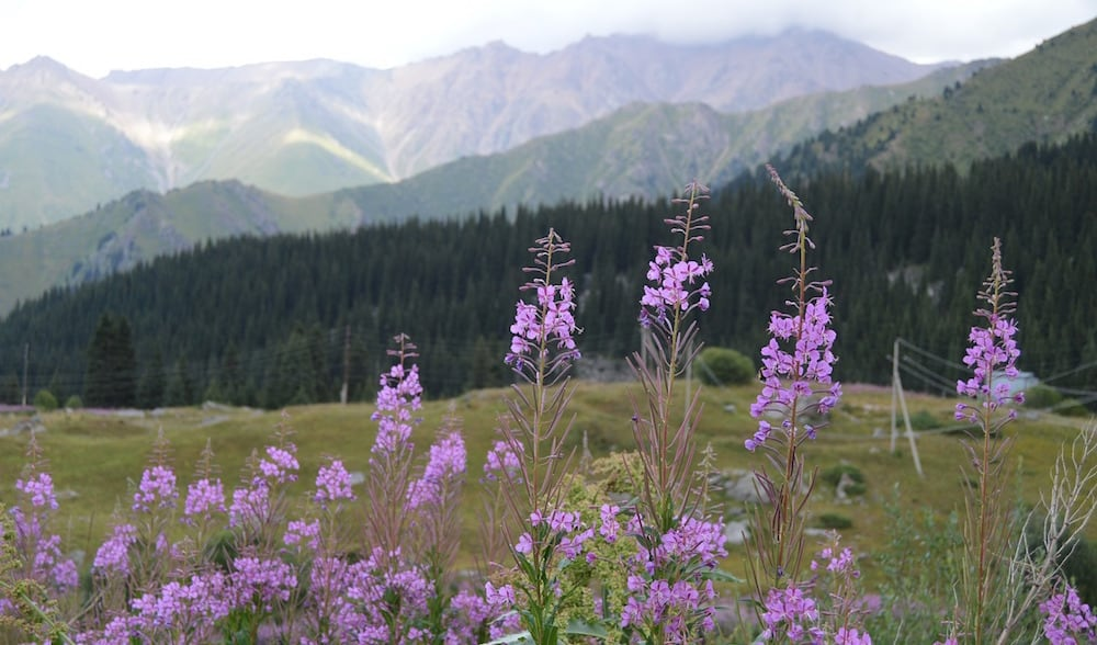 Closeup of purple flowers growing on a hill atop a mountain.