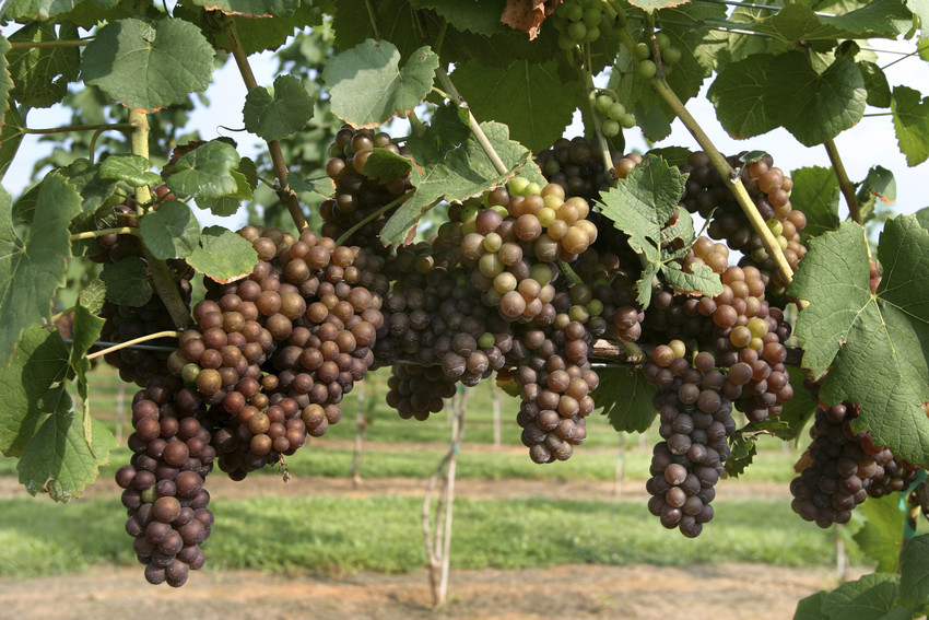 tryon vineyards