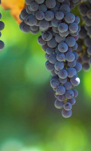 vineyards of tryon