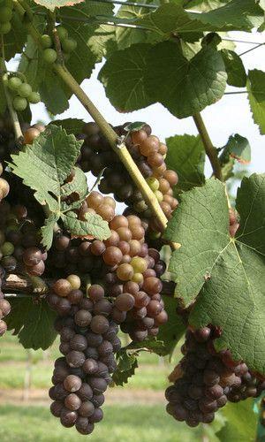 best vineyards in tryon