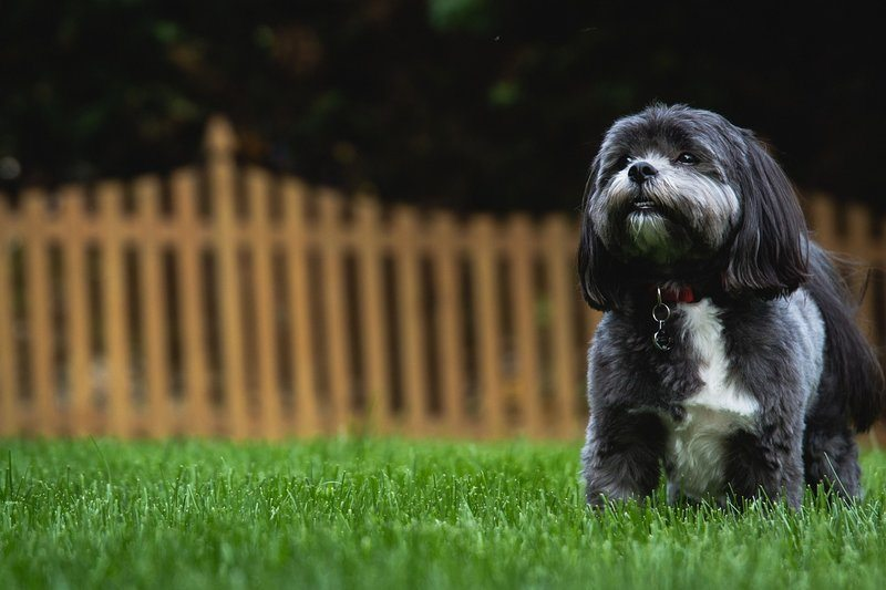 A black and white dog playing in grass in a fenced-in backyard.