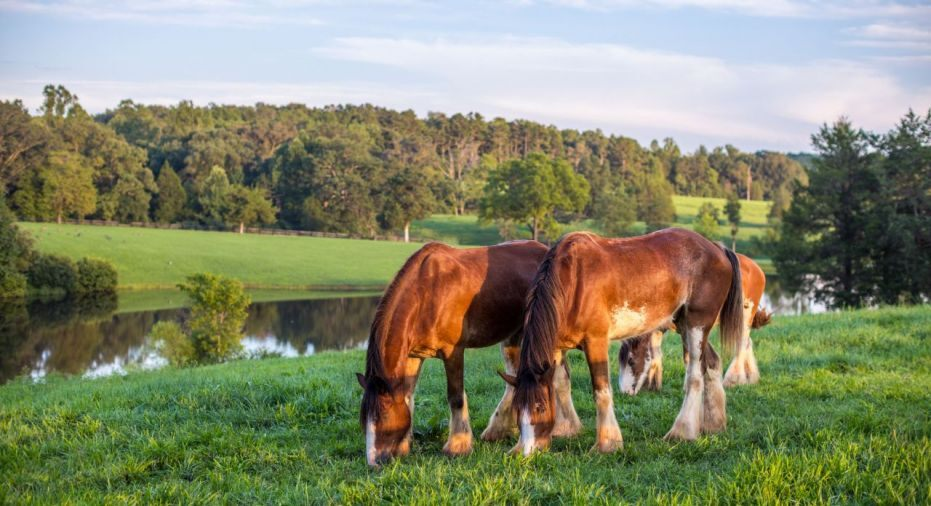Clydesdales at Mount Ida