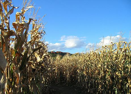 A corn field maze in the Clayton Fear Farm