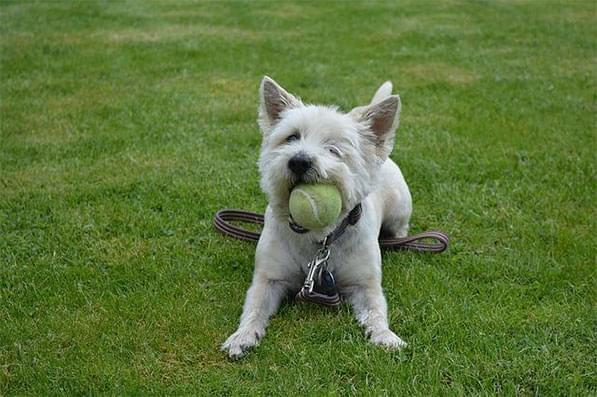 Small white dog with a tennis ball
