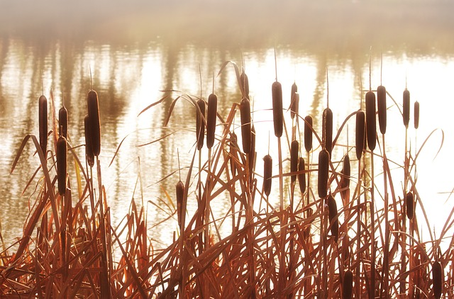 cattails in a swamp
