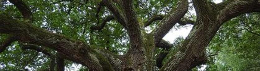 large oak tree with moss