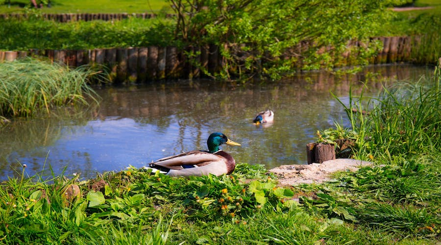 ducks at a duck pond.