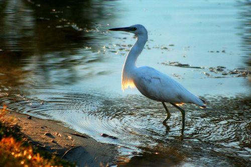 Water bird.