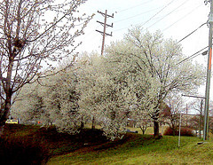 Dogwoods downtown on the corner of 5th Street and Main near Garland Hill Historic District
