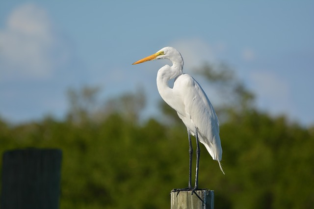A white egret standing on a wooden piling overlooking a bay.