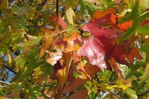 leaves on an oak tree in the fall