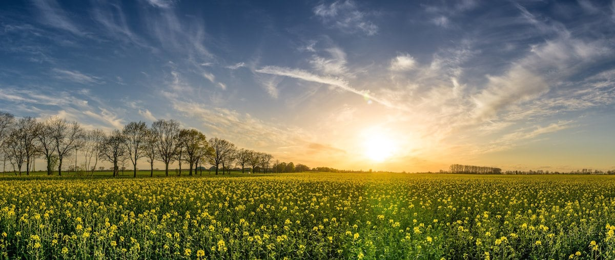 A field of yellow flowers in front of a sunset.