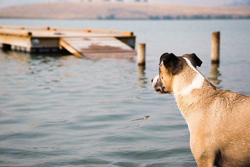 A dog overlooking a Granville County NC lake that features a fishing pier.