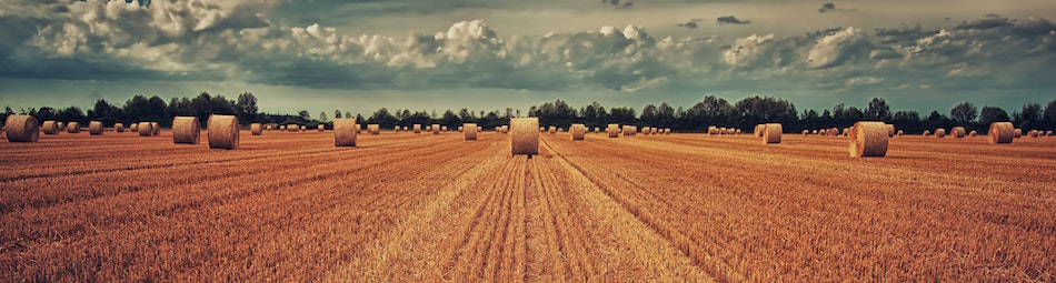 A brown field filled with rolls of hay.