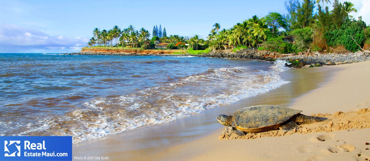 kuau beach paia turtle