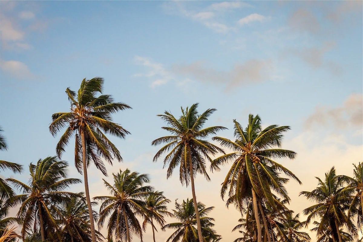 A grove of palm trees set against a cloudless blue sky.