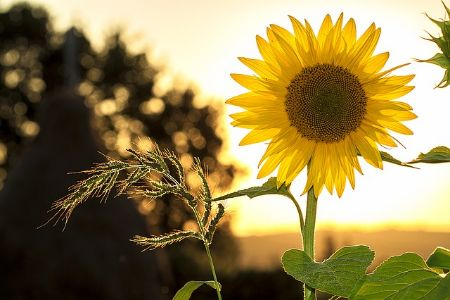 A sunflower standing in a field during a sunny afternoon.