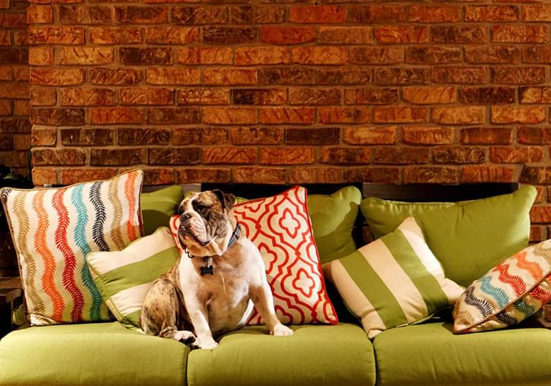 Bulldog on a couch with colorful cushionsa