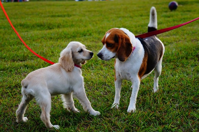 A beagle and a terrier on red leashes at a dog park.