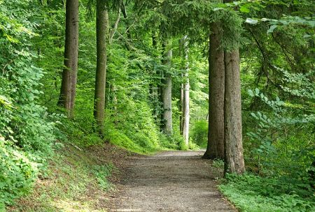 A nature trail winding between tall green trees.