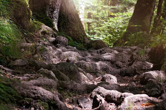 Gnarled roots of an oak tree amid a forest of evergreen trees.